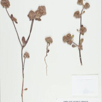 Dried Sonoma Spineflower