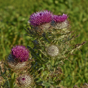 Franciscan Thistle