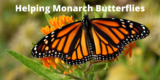 """A Monarch Butterfly with the title """"Helping Monarch Butterflies"""""""