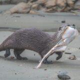 An otter carrying a leopard shark