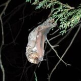 A bat hanging upside-down from a tree