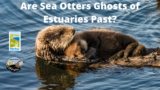 """A Sea Otter and its baby with the title """"Are Sea Otters Ghosts of Estuaries Past?"""""""