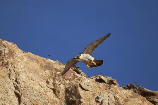 A Peregrine Falcon flying near a cliff