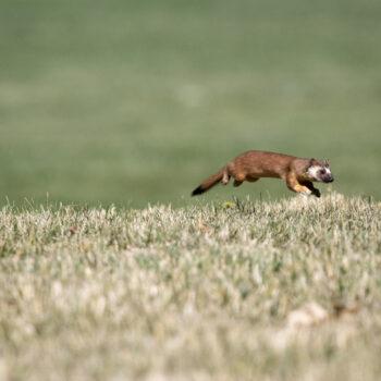 A weasel running through the grass