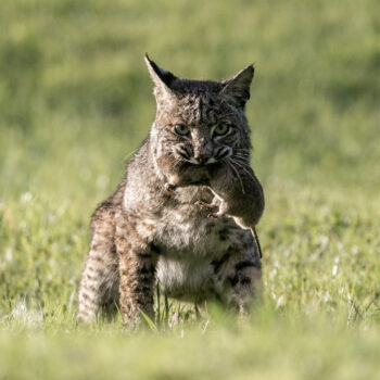 A bobcat with a gopher in its mouth