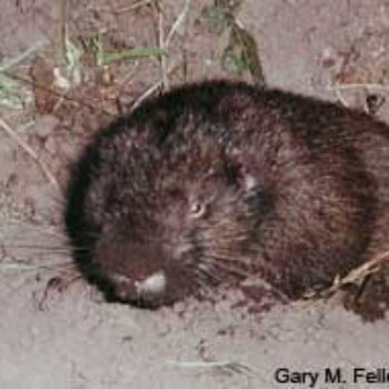 Immature Mountain Beaver