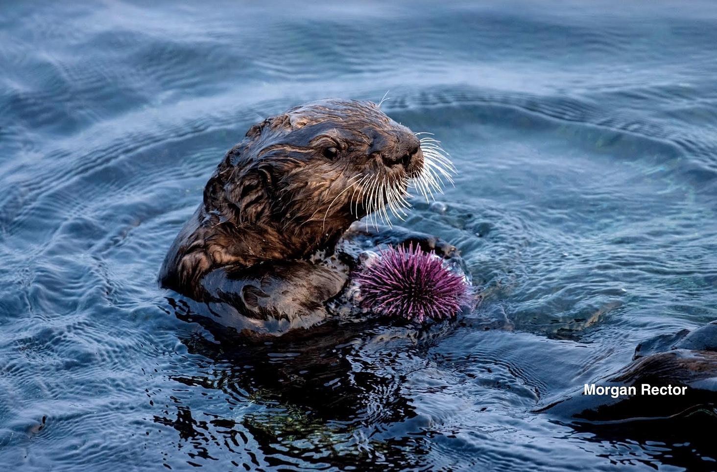 Otter holding sea urchin